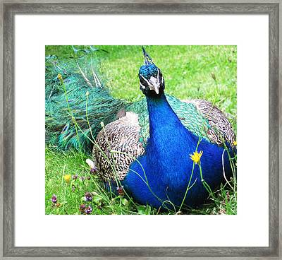 Peacock Framed Print by Bitten Kari
