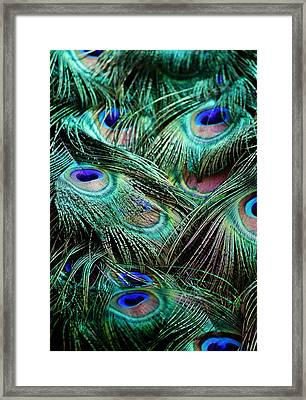 Peacock Feathers Framed Print by Paulette Thomas
