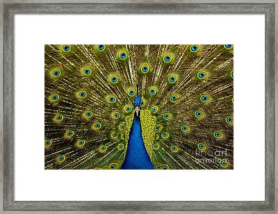 Peacock Pavo Cristatus Displaying Tail Framed Print by Paul D. Stewart