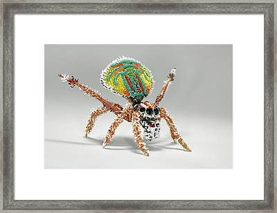 Peacock Spider Framed Print by Tomasz Litwin