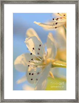 Framed Print featuring the photograph Pear Blossom by Rebeka Dove