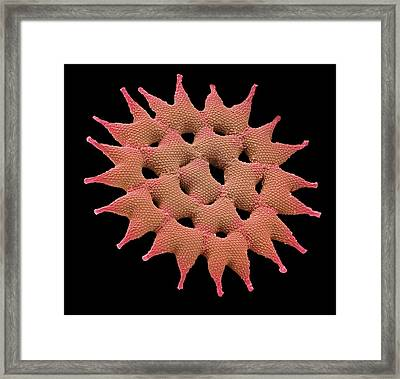 Pediastrum Alga Framed Print by Steve Gschmeissner