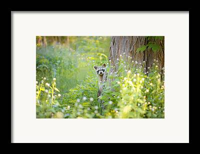 Raccoon Framed Prints