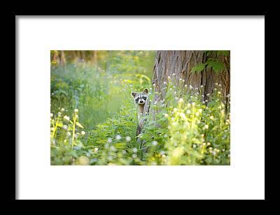 Raccoon Framed Prints