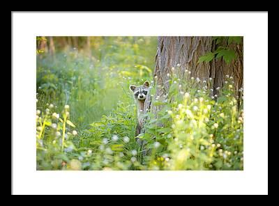 Raccoon Photographs Framed Prints