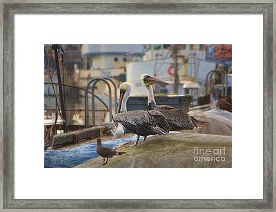 Pelican Duo Framed Print by Donna Greene