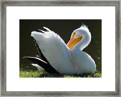 Pelican Preening Framed Print by Avian Resources