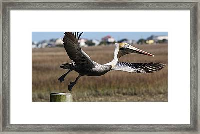 Pelican Take Off Framed Print by Paulette Thomas