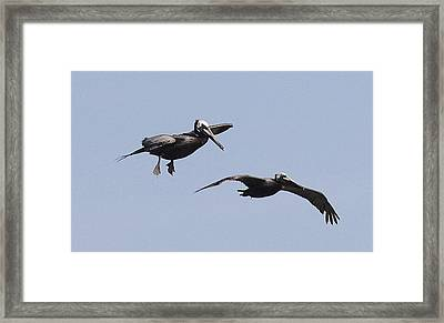 Pelicans In Flight 2 Framed Print by Cathy Lindsey