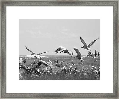 Pelicans Framed Print by Thomas Leon