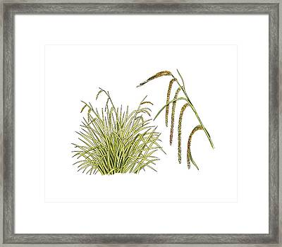 Pendulous Sedge (carex Pendula) Framed Print by Science Photo Library