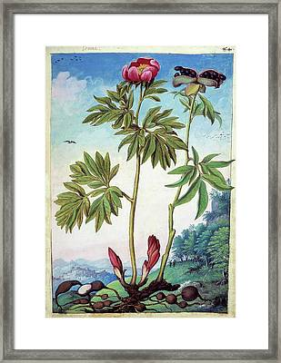 Peony (paeonia Mascula) Framed Print by British Library
