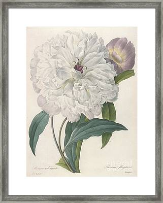 Peony Framed Print by Pierre Joseph Redoute