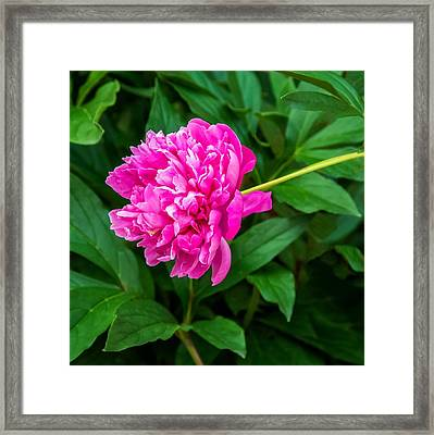 Peony Framed Print by Steve Harrington