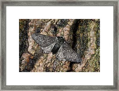 Peppered Moth Framed Print by Nigel Downer