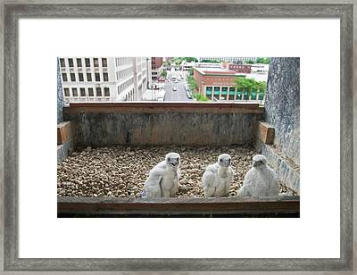 Peregrine Falcon Chick Framed Print by Jim West