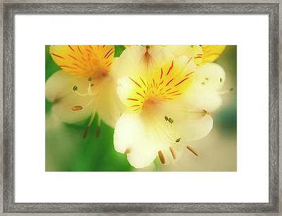 Peruvian Lily (alstroemeria Haemantha) Framed Print by Maria Mosolova/science Photo Library