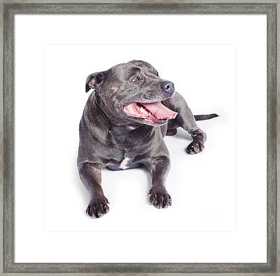 Pet Dog Isolated On White Background Framed Print by Jorgo Photography - Wall Art Gallery