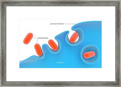 Phagocytosis Framed Print by Science Photo Library