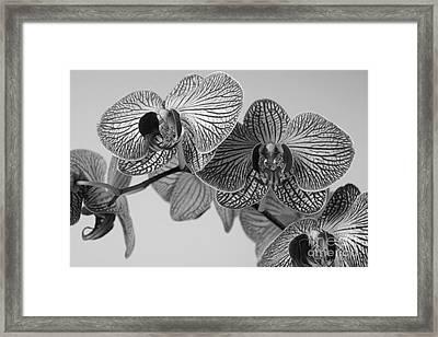 Phalaenopsis Orchid Framed Print by Dariusz Gudowicz