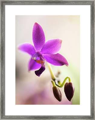 Phalaenopsis Orchid Flower Framed Print