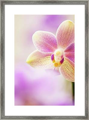 Phalaenopsis Tzu Chiang Balm 'ot0076' Orchid Framed Print by Maria Mosolova/science Photo Library