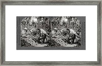 Philippines Coconuts Framed Print