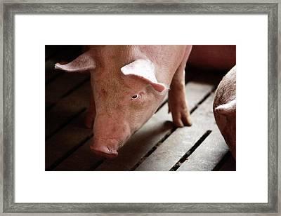 Piglet Framed Print by Mauro Fermariello