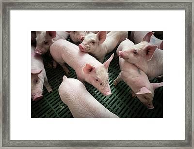 Piglets Framed Print by Aberration Films Ltd