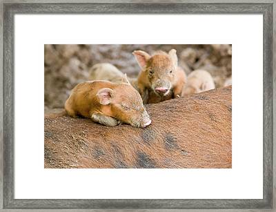 Pigs Reared For Pork On Tuvalu Framed Print