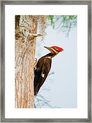 Piliated Woodpecker (dryocopus Pileatus Framed Print by Larry Ditto