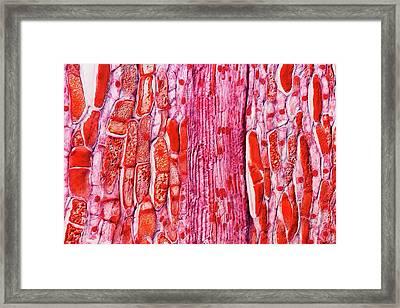 Pine Cone Tissue Framed Print by Antonio Romero