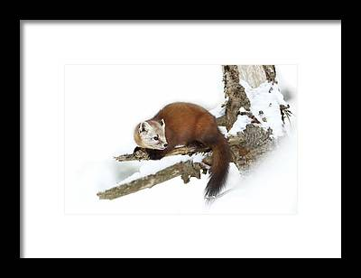 Weasels Framed Prints