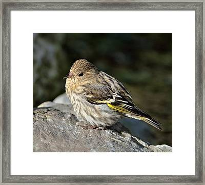 Pine Siskin  Framed Print