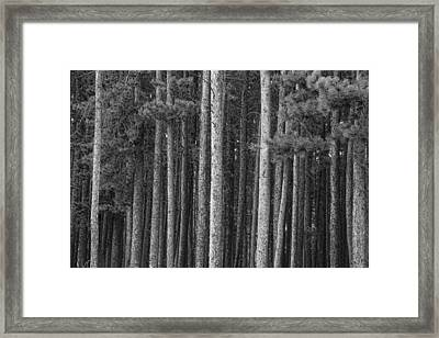 Pine Tree Forest Framed Print by James BO  Insogna