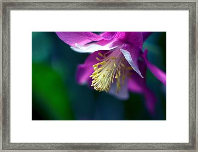 Pink And White Columbine Flower Framed Print by RM Vera