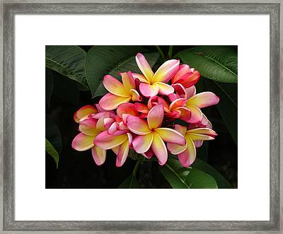 Pink And Yellow Plumeria Framed Print
