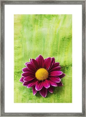 Pink Chrysanthemum Framed Print