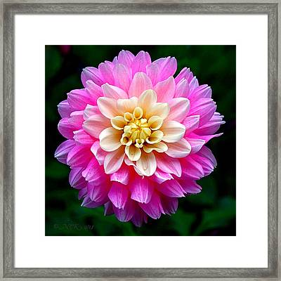 Pink Dahlia Framed Print by Nick Kloepping