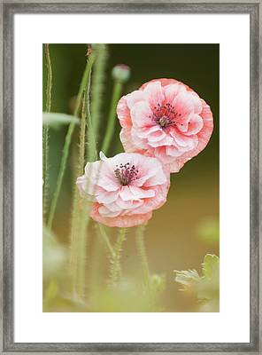 Pink Double Shirley Poppies Framed Print by Maria Mosolova