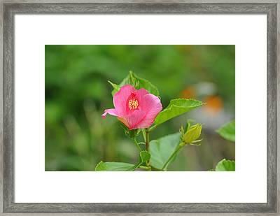 Framed Print featuring the photograph Pink Hybiscus Bud by Jodi Terracina