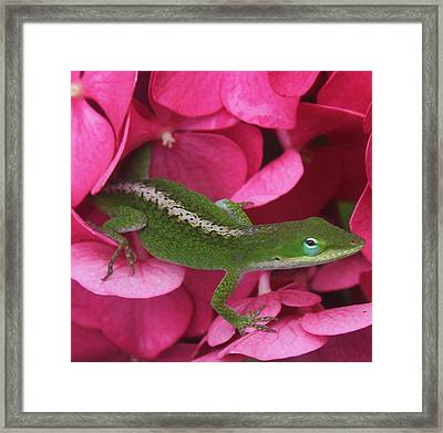 Pink Hydrangea And Lizard 2 Framed Print by Cathy Lindsey