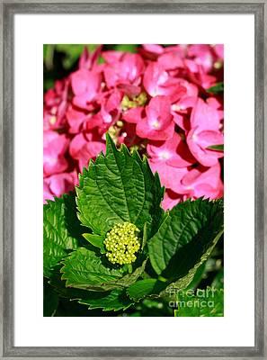 Pink Hydrangea Framed Print by Gaspar Avila