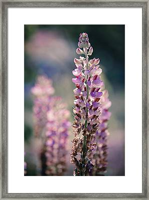 Pink Lupin (lupinus Sp.) Framed Print by Wladimir Bulgar