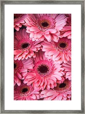 Pink Peach Gerbera. Amsterdam Flower Market Framed Print