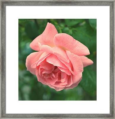 Pink Rose Framed Print by Cathie Tyler