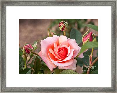 Pink Rose Framed Print by Iris Richardson