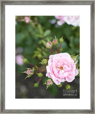 Pink Rose Framed Print by Ivy Ho