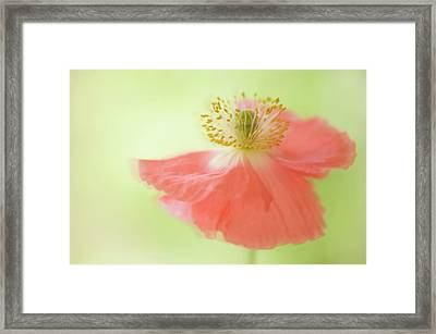 Pink Shirley Poppy Framed Print by Maria Mosolova