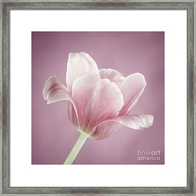 Pink Tulip Framed Print by Elena Elisseeva